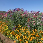 Edible-Flowers-at-Rancho-La-Puerta