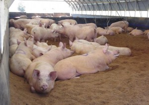 Alternative housing for pigs is a viable option in industrial farming.