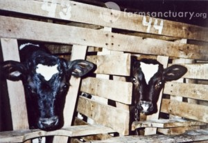 Confined in crates just two foot wide, veal calves don't have space to walk or stretch their limbs.