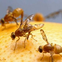 3 Best Natural Fruit Fly Traps