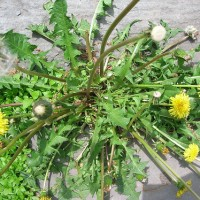 Medicinal Plants In Your Yard